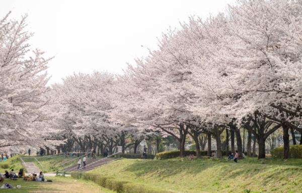 北海道の花見