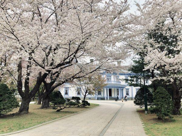 中島公園豊平館桜